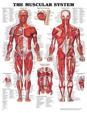 Chapter 9: Muscular System - EHS Anatomy & Physiology (A)