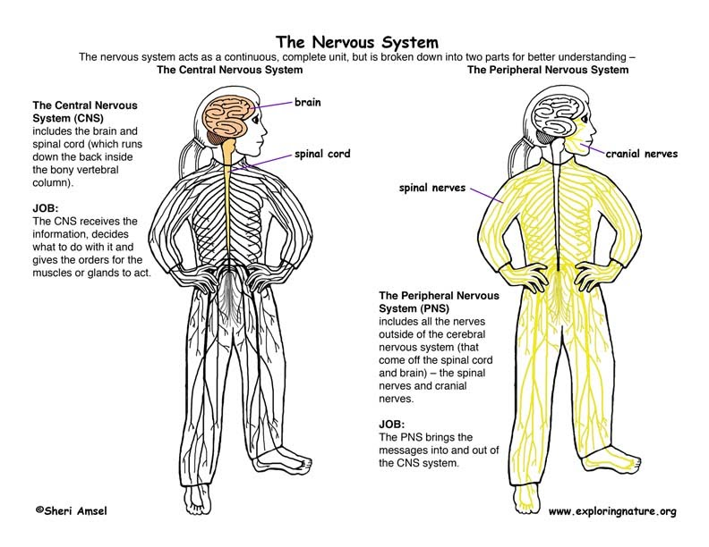 Chapter 11 Nervous System Part 2 Ehs Anatomy Physiology A