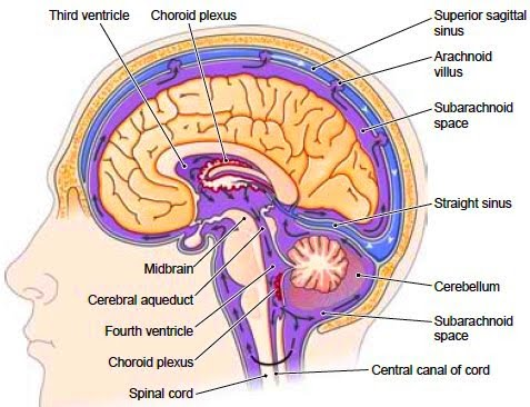 1. Meninges - Functions of the Spinal Chord (pg. 395-404) - EHS ...