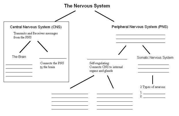 Nervous system blank diagram 15170 infobit nervous system blank diagram ccuart Image collections