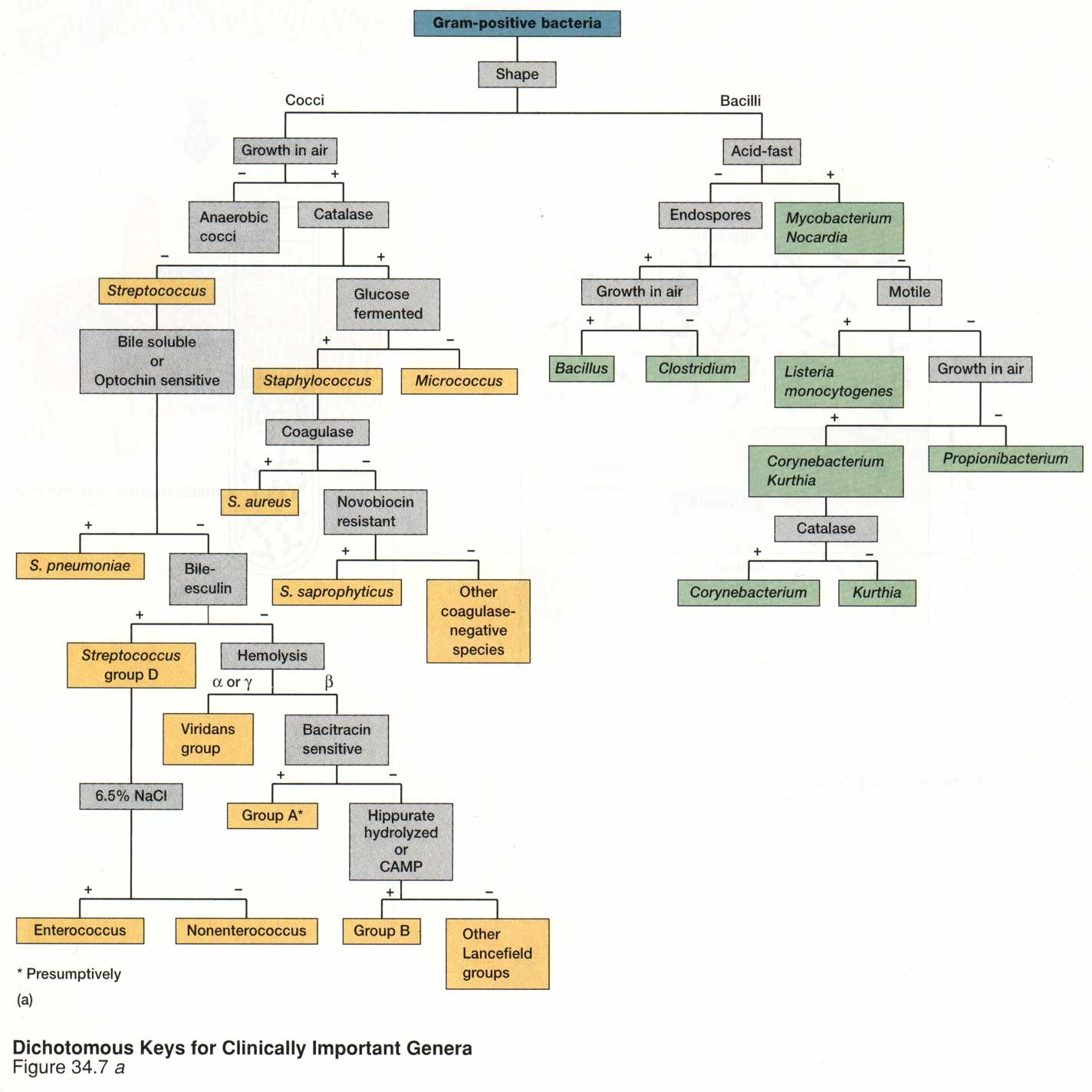 Gram positive Bacteria Flow Chart http://sites.google.com/site/elmanama143/bacterialisolationcharts