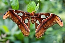 Atlas Moth Entomology Guide