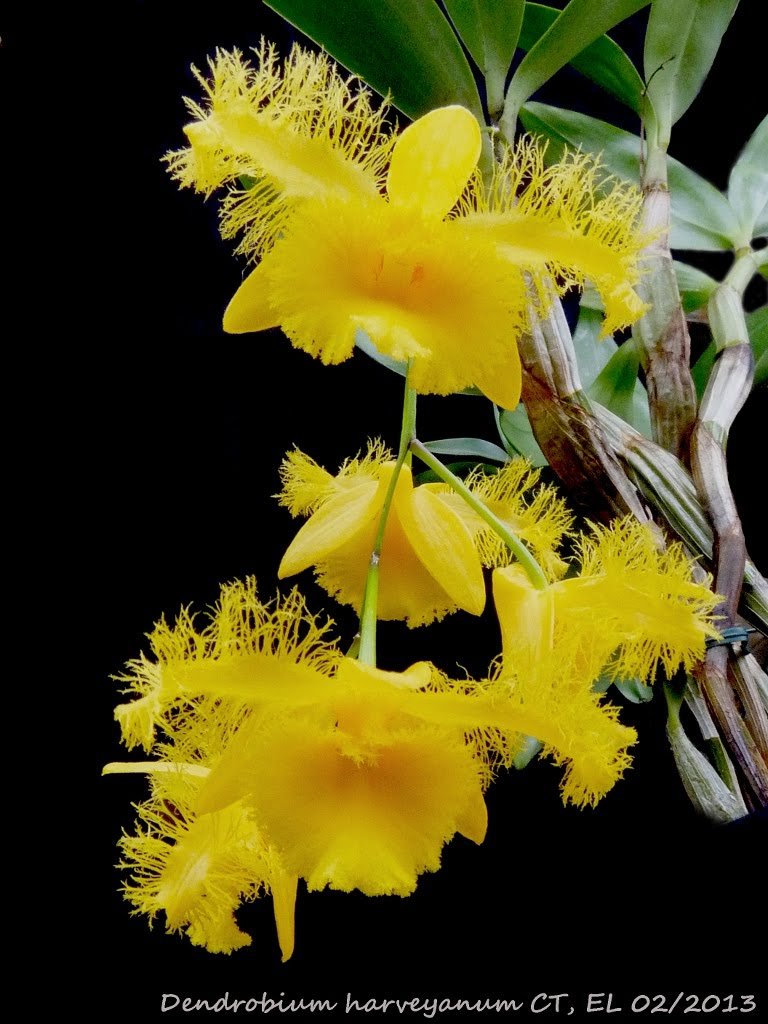 https://sites.google.com/site/eorchids/dendrobium-harveyanum/Dendro%20harveyanum%20CT%2002_2013%202.JPG