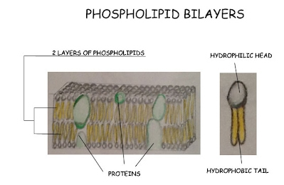 The Plasma Membrane (Phospholipid Bilayers) - Eukaryotic Cell Structure