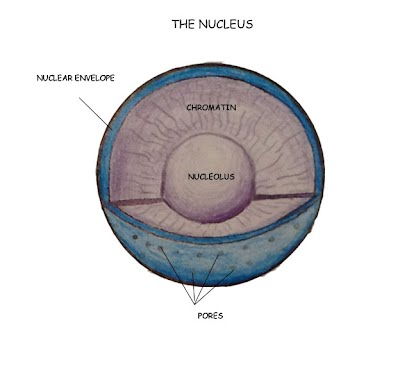 nucleus eukaryotic cell structure