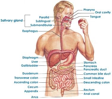 Human Digestive System Life Sciences For Grade 10 Learners