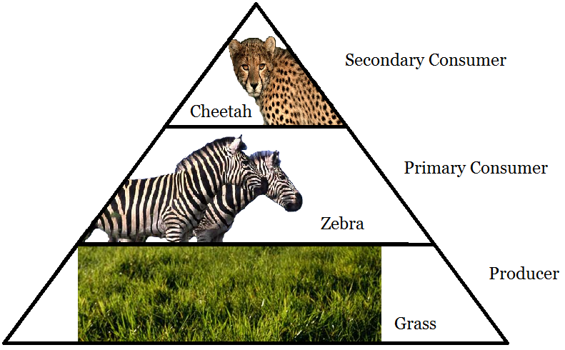 Food Webs/Trophic Pyramids - Farraday Connell Tropical Savanna