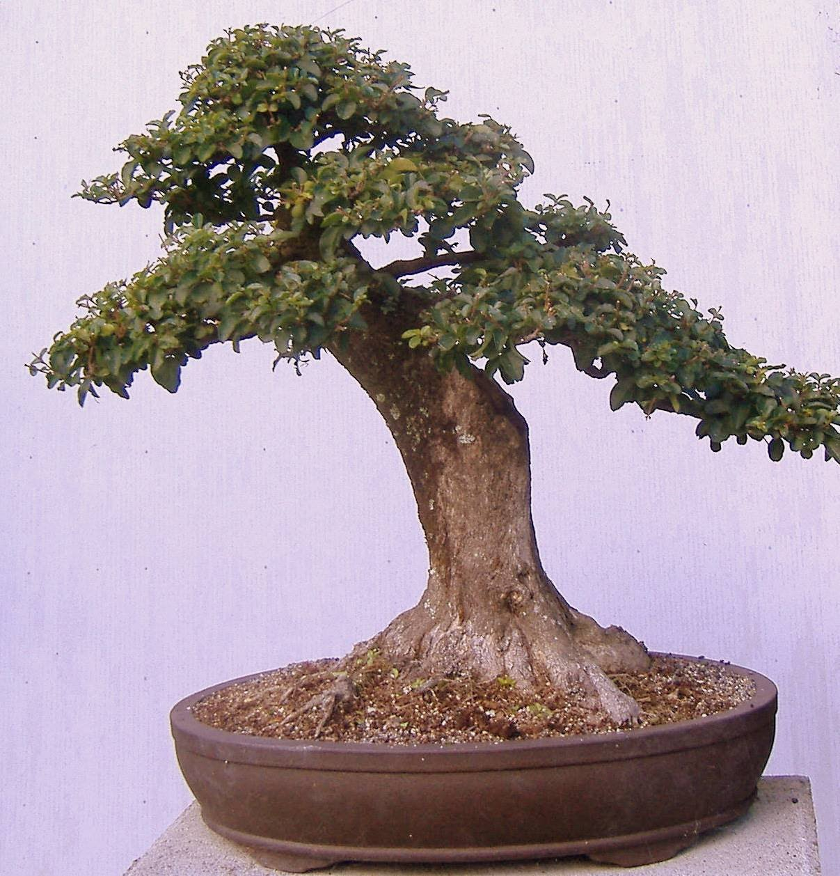 Gallery Fernvalleybonsai