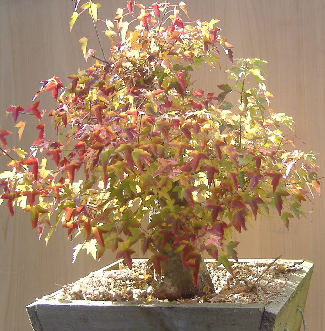 Fieldgrownbonsai Fernvalleybonsai Chinese Elm Bonsai Tree Wiring Especially In The Wide And Flat Timber Boxes Trees Rapidly Develop Secondary Branches Regular Can Commence
