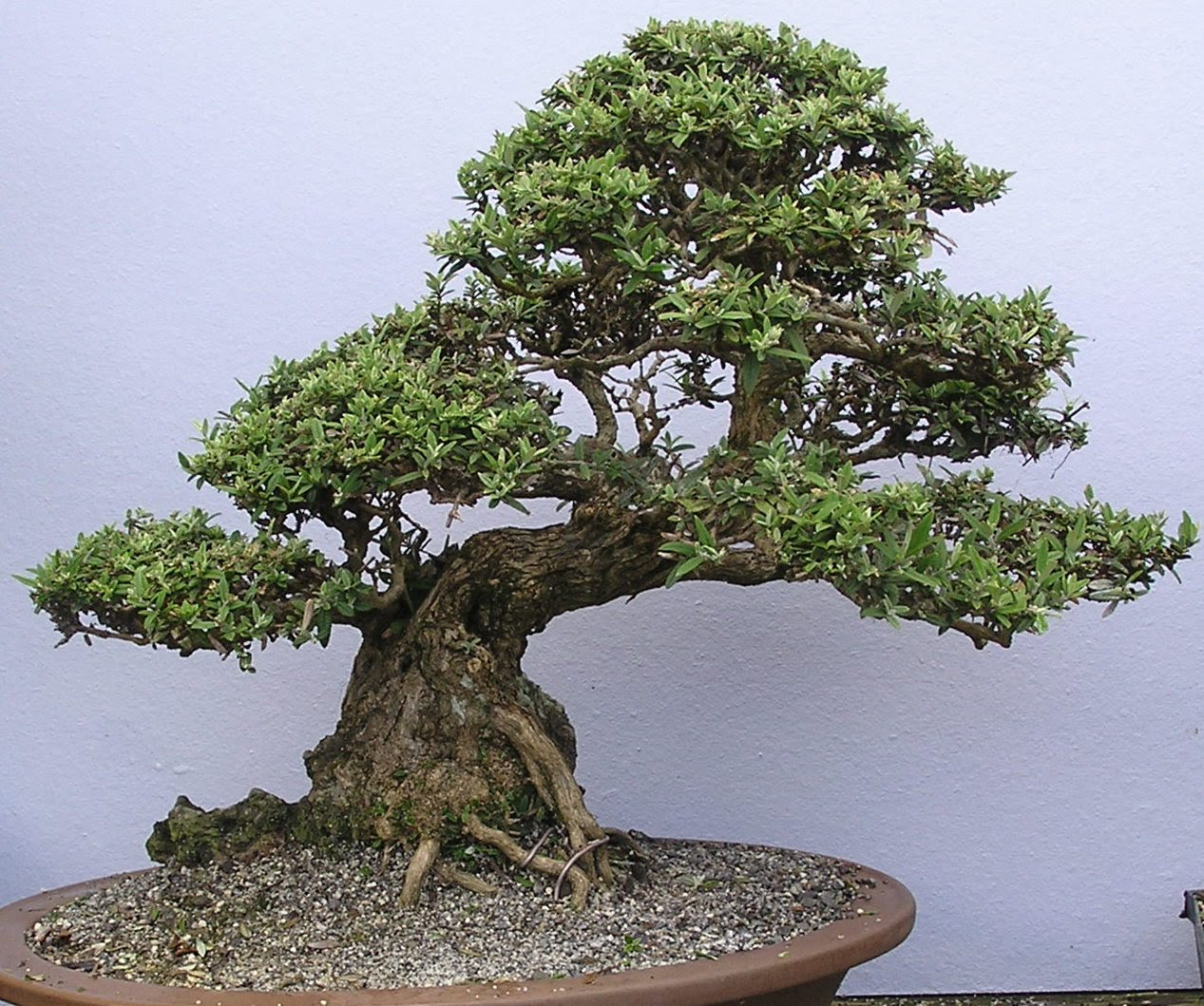 https://sites.google.com/site/fernvalleybonsai/P1050045.JPG