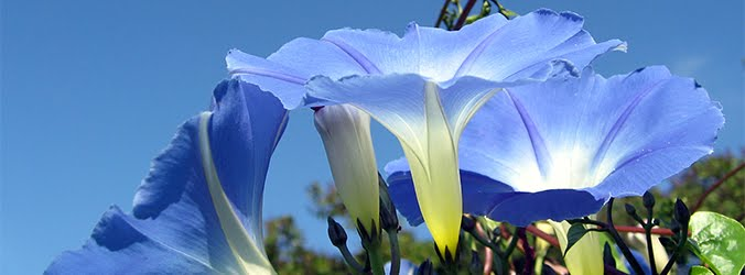 Blue morning glory by Heike Loechel.  Click image for attribution.