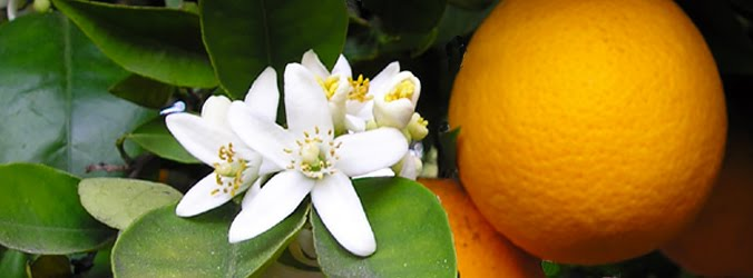 orange blossom photo by Ellen Levy Finch.  Click image for the full attribution.