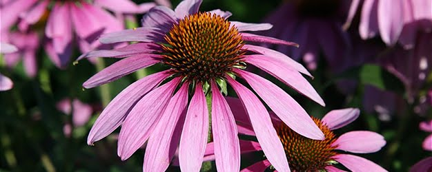 Purple Echinacea by Daniel Schwen.  Click image for the full attribution.