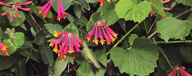 Trumpet honeysuckle with ruby throated hummingbird By JeffreyW.  Click image for the full attribution.