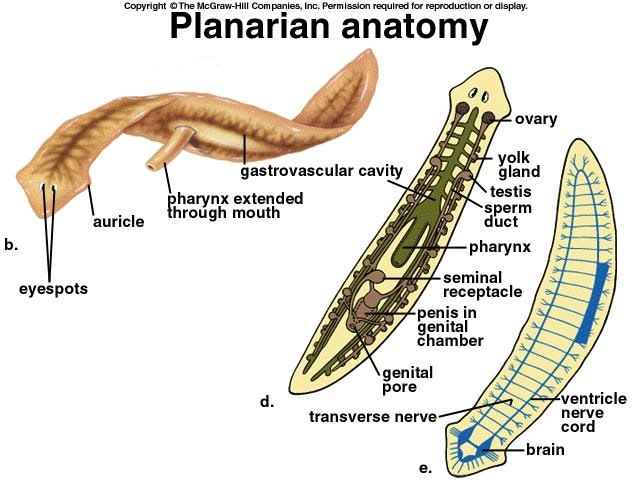 Flat worms asexual reproduction of plants