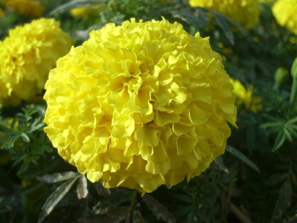 Marigold flower flowers thailand marigolds come in different colors yellow and orange being the most common most of the marigolds have strong pungent odor and have has great value in mightylinksfo