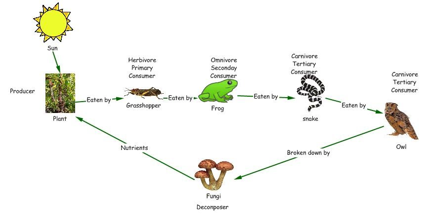 Concept Map Food Chain