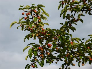 Siberian Crab Apples