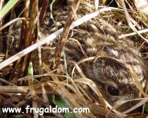 First baby hare (leveret) of the year at Frugaldom 28/02/16