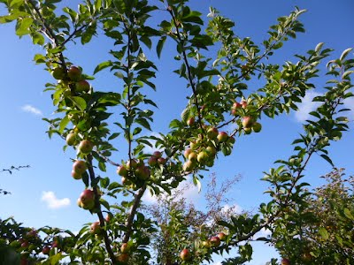 Apple trees at Frugaldom