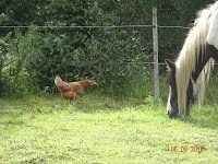 Rehomed chickens and ponies at Frugaldom