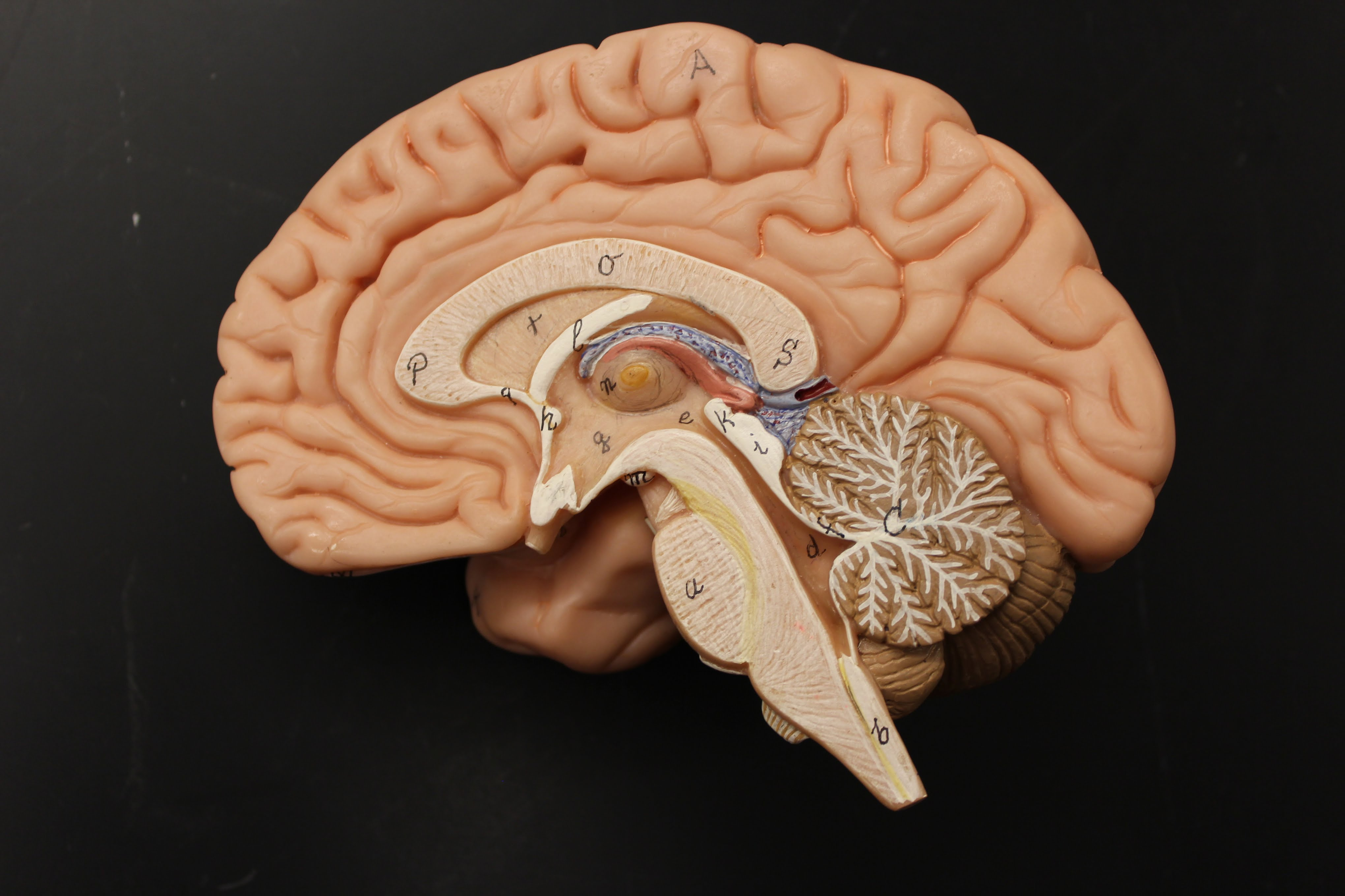 Human Brain Model - Florida Southern College Human A&P Nervous System