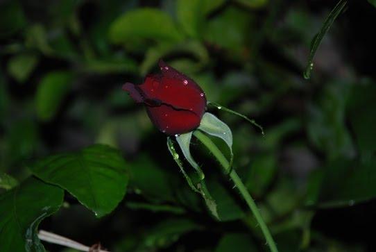 Bahçemde bir gül (Nusaybin)
