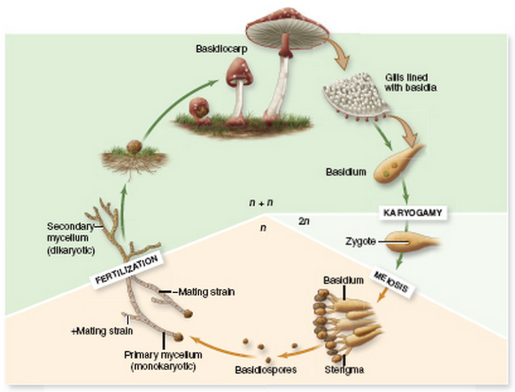 Basidiomycota asexual reproduction pictures