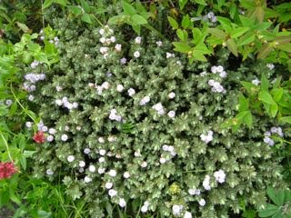 Shrubs and trees f l orkney shrubs and trees good smaller variety with blue green foliage red edge has leaves margined with red especially in winter flowers light purple becoming white mightylinksfo