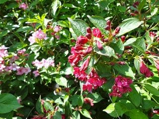 Shrubs and trees s z orkney shrubs and trees pink flowers are set amongst golden young leaves newport red crimson flowers victoria a smaller upright shrub with deep bronze purple foliage mightylinksfo