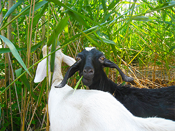 http://e360.yale.edu/digest/in_east_coast_marshes_goats_take_on_a_notorious_invader/4281/