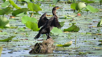 A Double-Crested Cormorant in the Sun