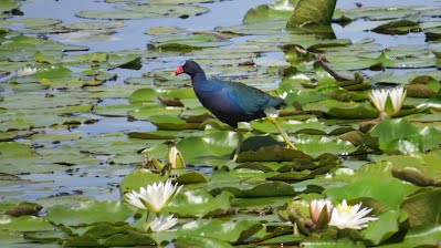 A Purple Gallinule Walking on the Lily Pads