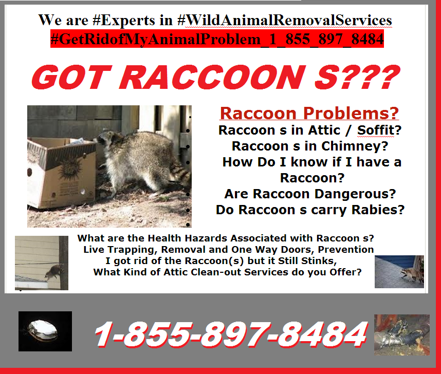 #Raccoon_Problems_1_855_897_8484?  #Raccoon_s_in_Attic_Soffit?  #Raccoon_s_in_Chimney?  How Do I know if I have a Raccoon? Are Raccoon Dangerous?  Do Raccoon s carry Rabies?   What are the Health Hazards Associated with Raccoon s?   Live Trapping, Removal and One Way Doors, Prevention I got rid of the Raccoon(s) but it Still Stinks,     #What_Attic_Clean_out _Services_Are_Offered_1_855_897_8484