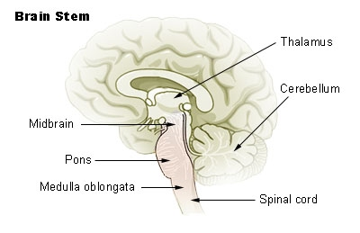 1 name the division of the brain that includes the midbrain pons and medulla oblongata The brain stem is responsible for coordinating the movement ofinvoluntary muscles it has three main parts, the midbrain, thepons and the medulla oblongata.