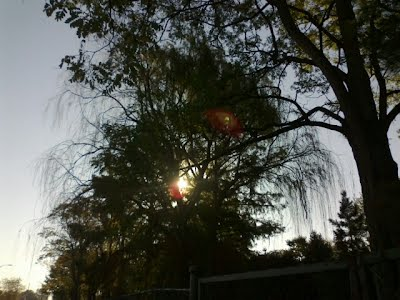 Tree on walkabout w red glowing object visible through leaves; oct 2011; photo-by-gloriapoole