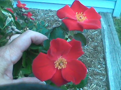Roses-my-hand-photo-by-gloriapoole;Oct 2011