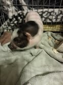 Meet Ellie Mae My newest addition to Grandma's Farm. This is Ellie as a 8 week old pot belly pig last August.t