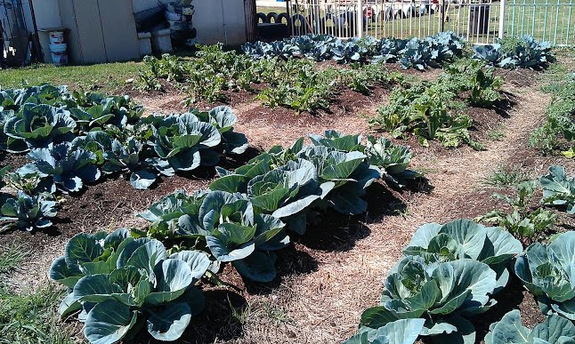 Vegetable garden at Malibongwe pre primary in Vosloorus.