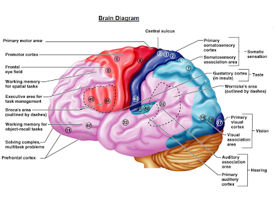 this diagram shows the brain's functions and the area which is responsible  for them