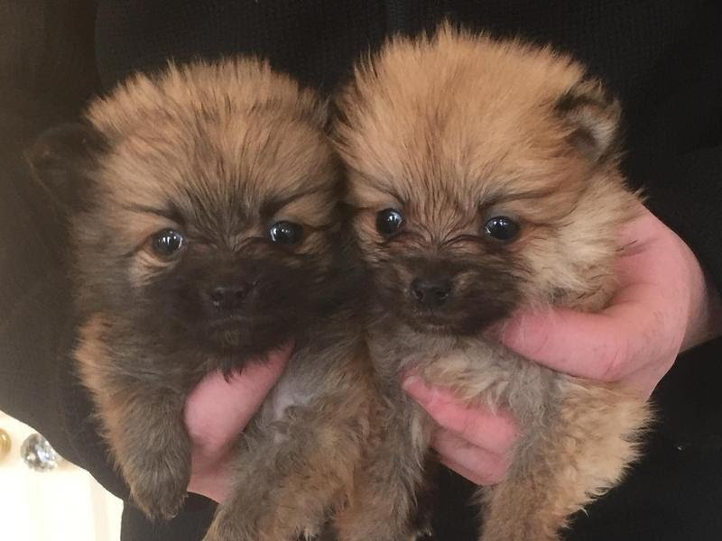 Does Micro Pomeranian For Sale In USA And Canada With Good Health