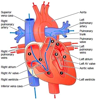 Basic overview of the heart heart health for dummies blood carries oxygen o2 to all the cells of your body when cells use this oxygen they make carbon dioxide co2 and after the blood brings the oxygen to ccuart Image collections