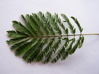 Albizia julibrissin arbre soie acacia de constantinople for Acacia de constantinople prix