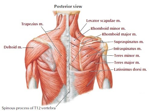 Posterior Shoulder Anatomy Diagram Block And Schematic Diagrams