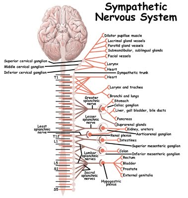 Sympathetic nervous system hook ap psychology 3b the sympathetic nervous system is a part of the autonomic nervous system its purpose is to arouse the body by carrying chemical messages from the brain to ccuart Choice Image