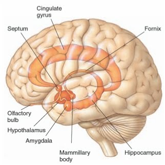 Limbic system  Hook    AP    Psychology 2A