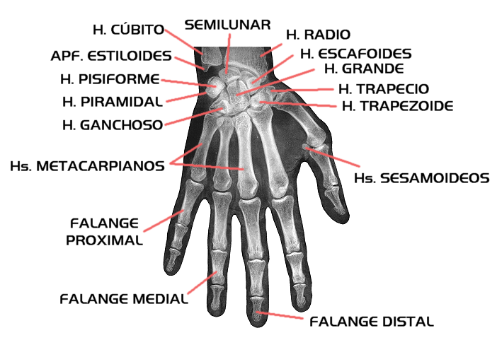 HUESOS DE LA MANO - Huesos Humanos!!