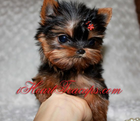 Madison : Micro teacup yorkie puppies for sale in california