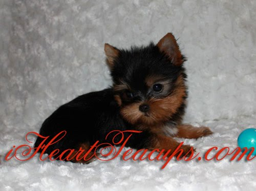 Teacup Yorkie Tiny Timmy Pictures Iheartteacups We Have