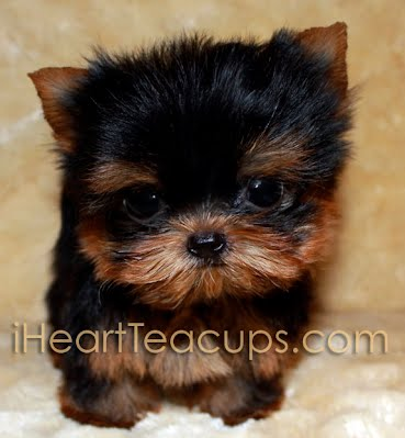 More Pics Of Micro Teacup Yorkie Johnny Iheartteacups We